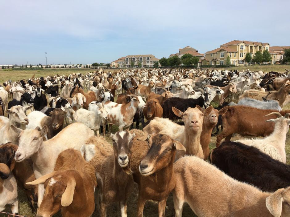 photo of grazing goats