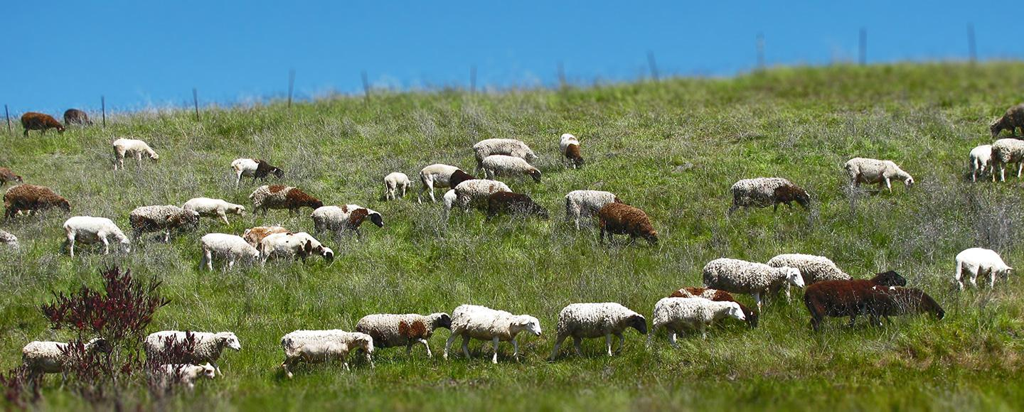 Managed Grazing for Weed Control in Rocklin photo of sheep & goats on grassy hillside