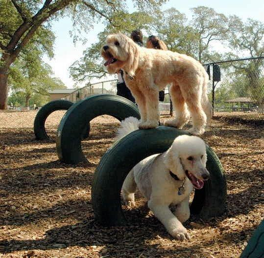 A dog walks through a tire as another one stands on top of the tire at the RRUFF Dog Park in Rocklin, California