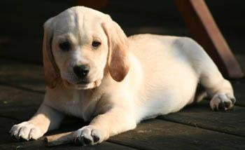 photo of yellow lab puppy