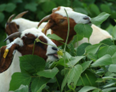 photo of Goats Grazing