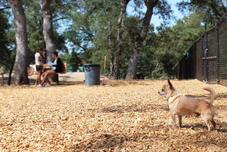 A chihuahua observes the RRUFF Dog Park in Rocklin, California